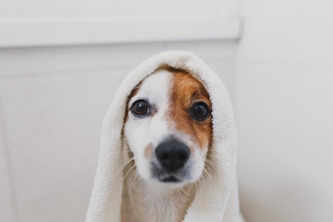 タオルをかけた犬