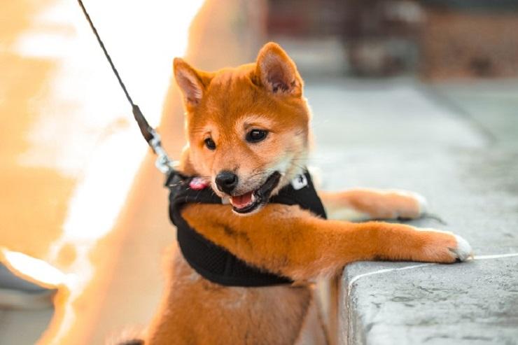 た 柴犬 かん 頭がいいのになぜ?柴犬が噛む理由としつけ方法。接し方次第で治せます!