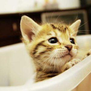 お風呂に入る子猫の画像