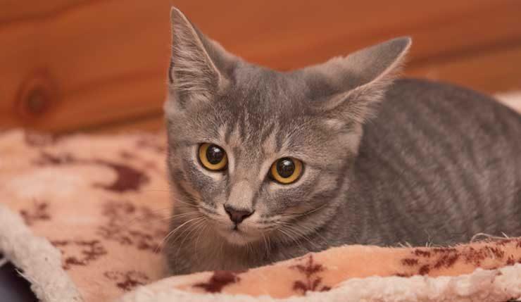 布団の中で伏せる子猫の画像