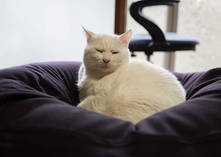 かかりやすい病気に関する猫のイメージ画像