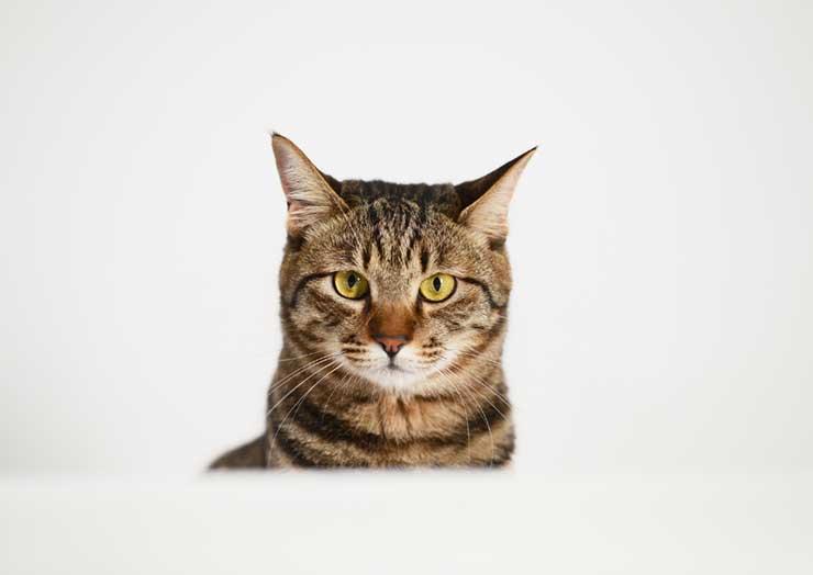 猫がチョコレートを食べてしまったときのイメージ図