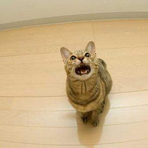 猫が鳴いている画像