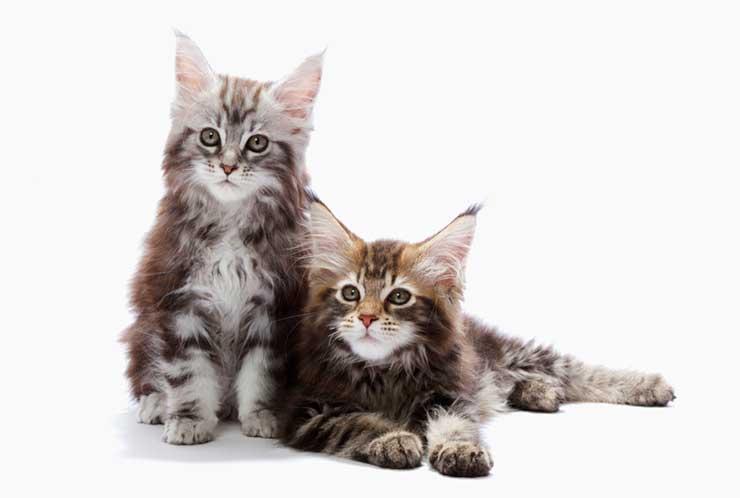 メイン クーン 猫