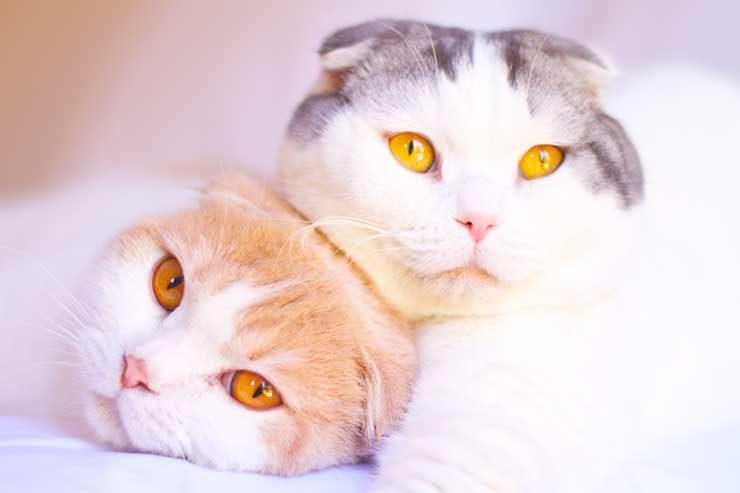 スコティッシュ・フォールドってどんな猫?性格や特徴は?