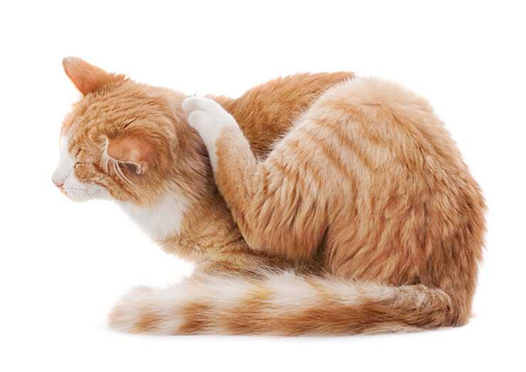 耳を掻く猫の画像