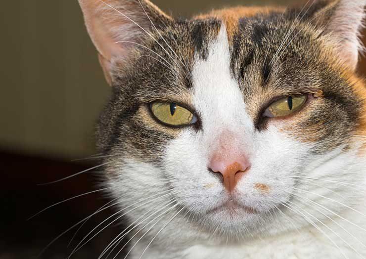 猫に寄生するダニの種類のイメージ画像