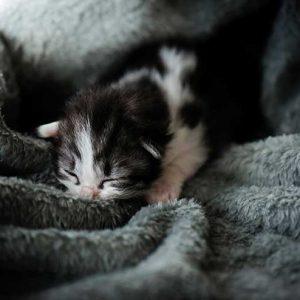 毛布に包まれる子猫の画像