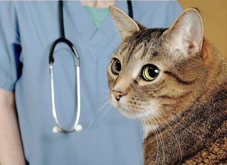 猫の正しい去勢方法と手順をイメージさせる画像
