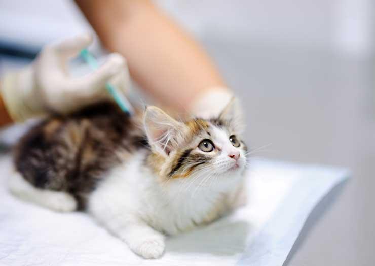 猫の皮膚病の治療と注意点をイメージさせる画像