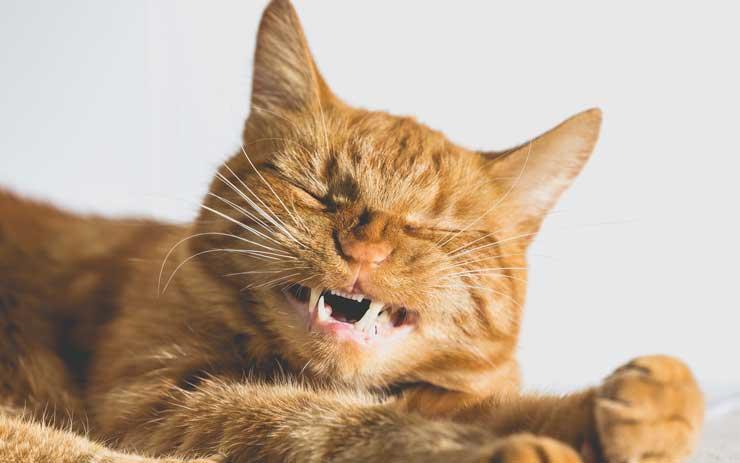 猫が歯を出している画像