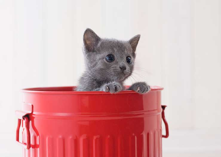 ロシアンブルーの猫の画像