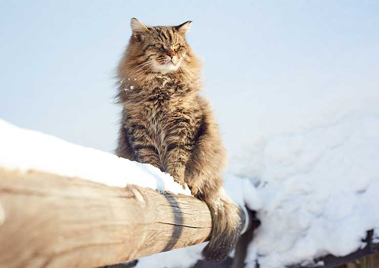 サイベリアン・フォレスト・キャットが注意したい病気のイメージ画像
