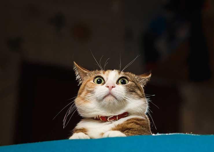 耳を倒した猫の画像