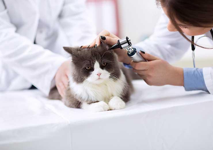 猫の外耳炎治療のイメージ画像
