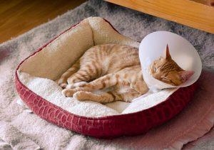 猫が避妊手術を終えてエリザベスカラーをつけている写真