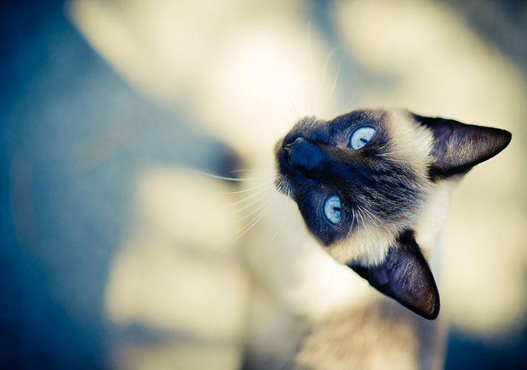 シャム サイアミーズ ってどんな猫 王族に愛された 月のダイヤモンド 猫との暮らし大百科