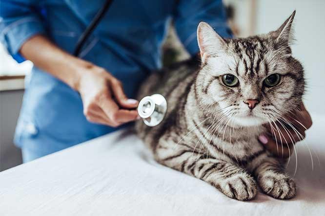 病院にて診察される猫