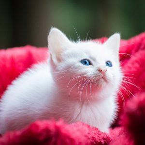 毛布に包まった白い子猫