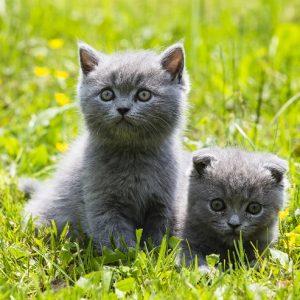 ブリティッシュ・ショートヘアの子猫の画像