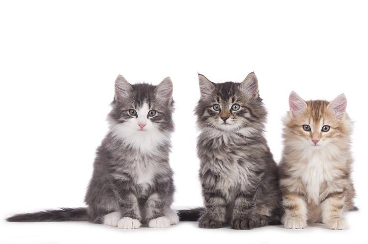 ノルウェージャン・フォレスト・キャットの子猫の写真