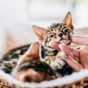 ベンガルの子猫の画像