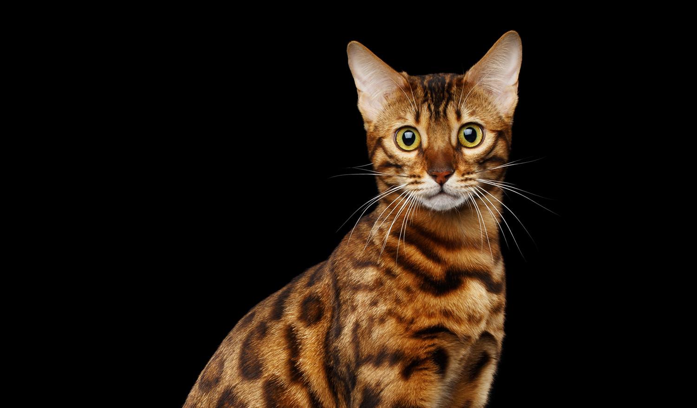 ベンガル猫の写真