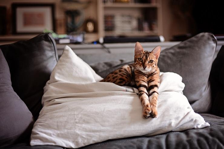 ソファの上でくつろぐベンガル猫の写真