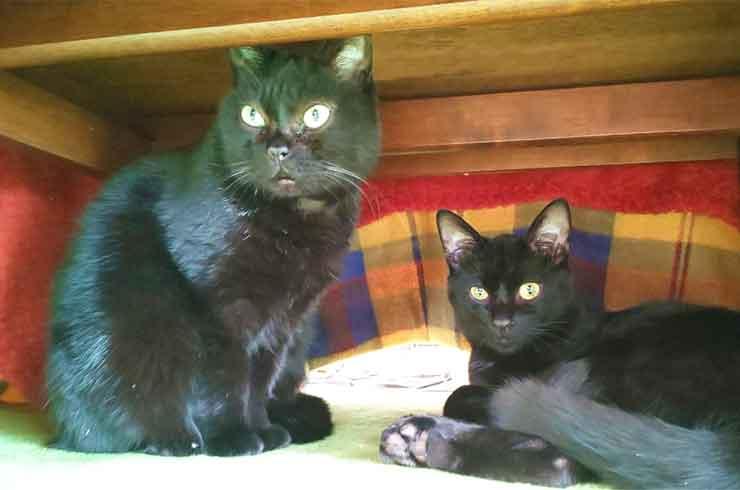 2頭の黒猫の画像