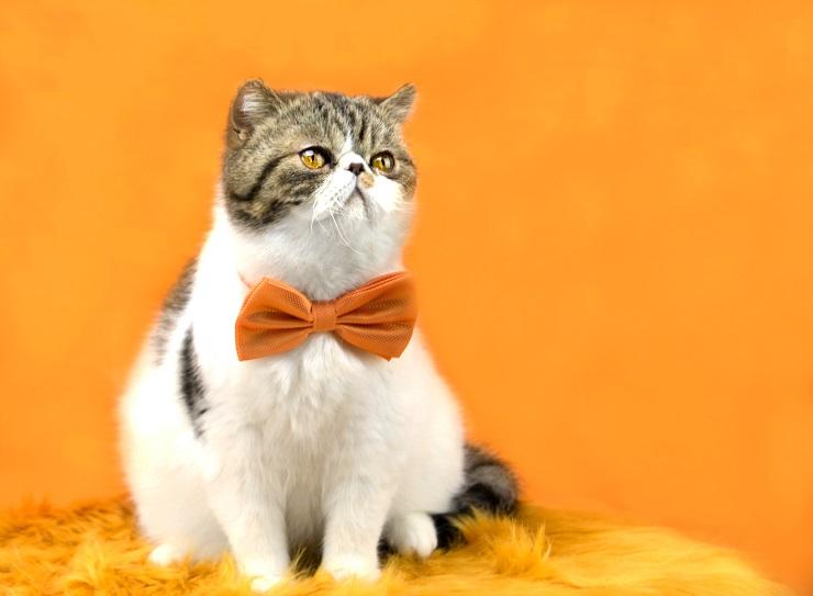 スタジオでオレンジ色のリボンを付けている猫が座っている