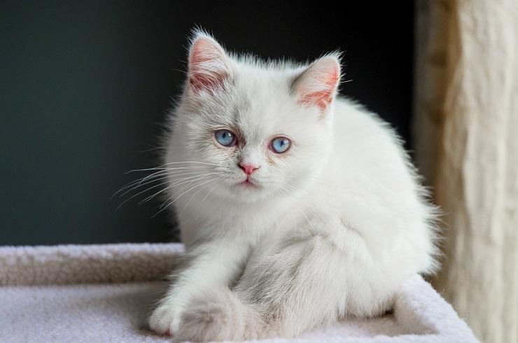 子猫のミヌエット