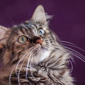上を見つめる猫の画像