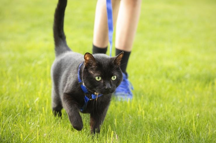 黒い猫の首にハーネスが付けられている
