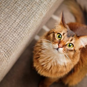 上を見上げるソマリ猫