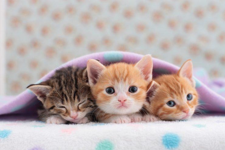 布団に包まった3頭の子猫