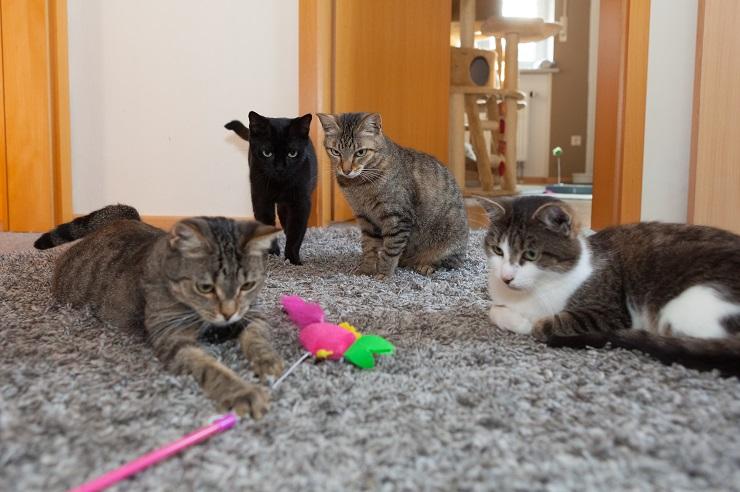 3匹の猫は1匹の猫がおもちゃで遊んでいるのをじっと見ている