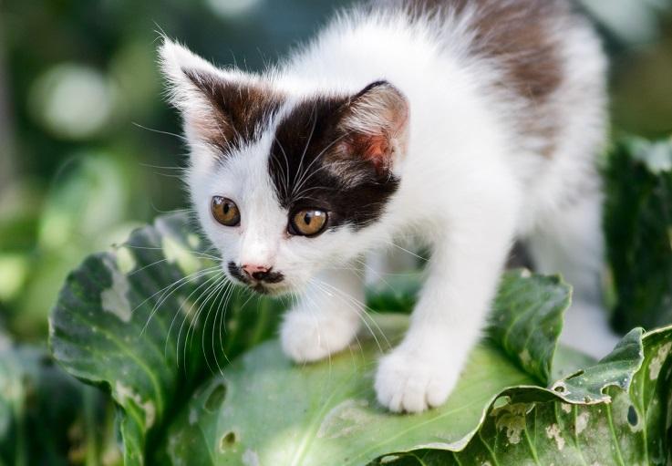 キャベツの上に乗る子猫の画像