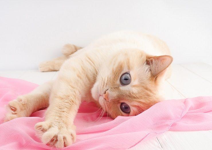 床に寝そべり布で遊ぶ猫