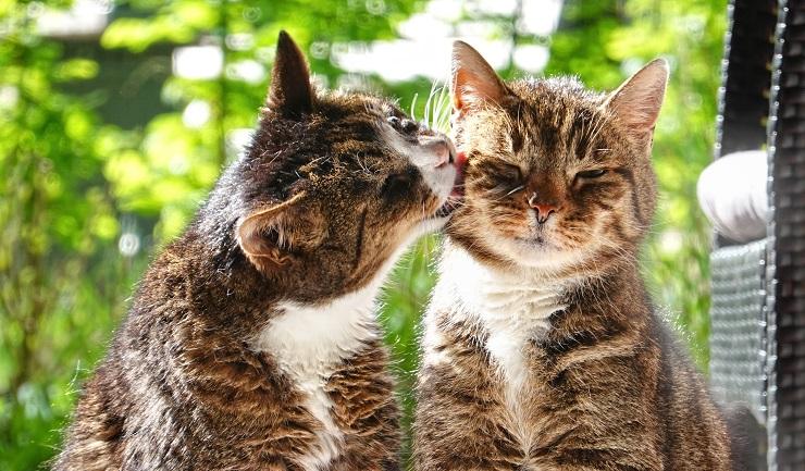 1頭がもう1頭の頬を舐めている猫の画像