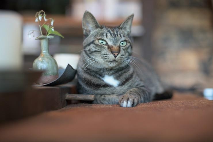 テーブルの上で遠くを見つめる猫