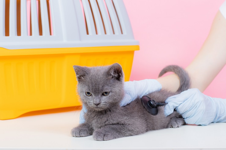 聴診器をあてられて不愉快そうな猫