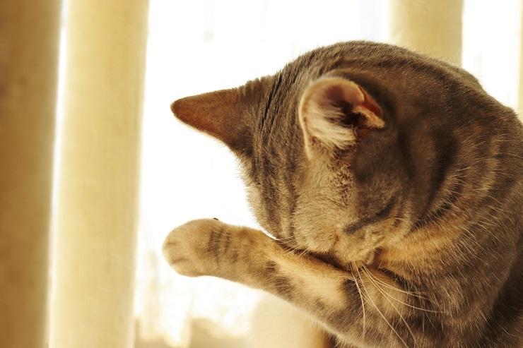 眼をこする茶トラ猫