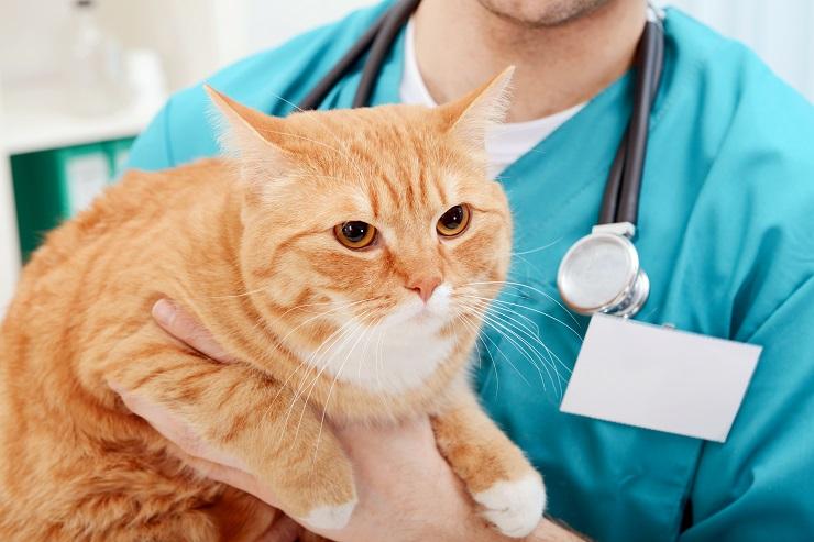 獣医師に抱っこされる太り気味の猫