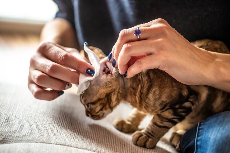 耳をガーゼで拭いてもらっている猫