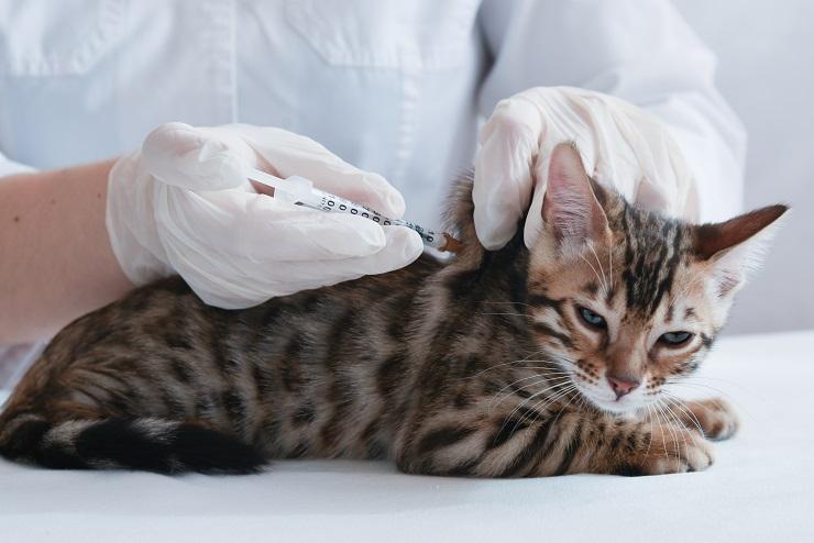 ワクチン接種を受けている猫