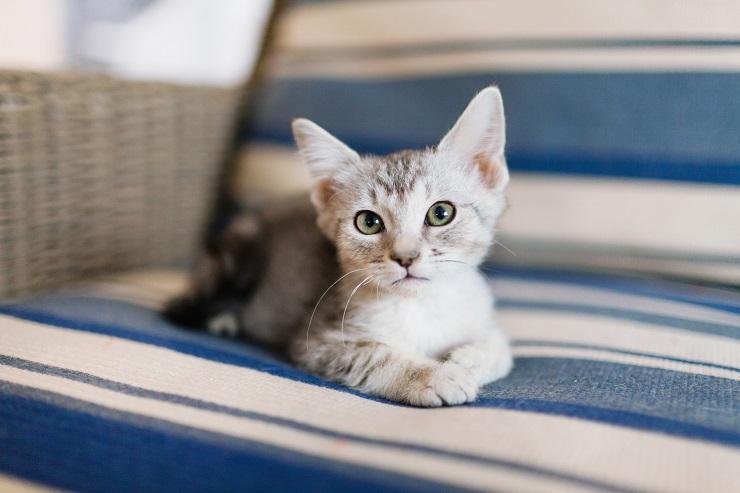 ソファの上からこちらを見つめる猫