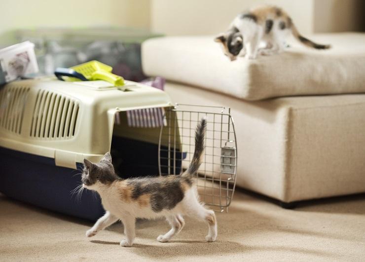 キャリーバッグから出てあたりを探索している2頭の子猫