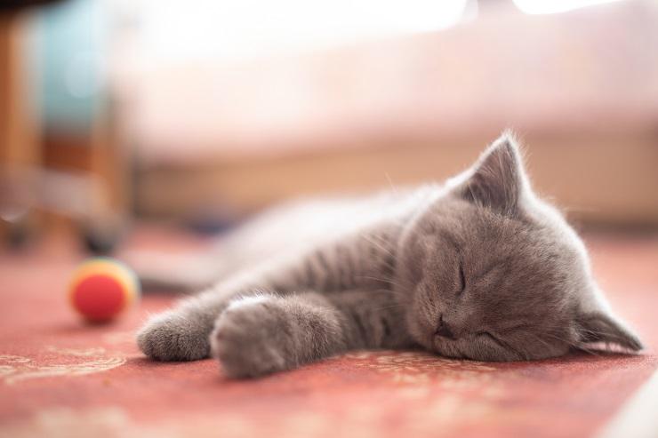 気持ちよさそうに眠る子猫