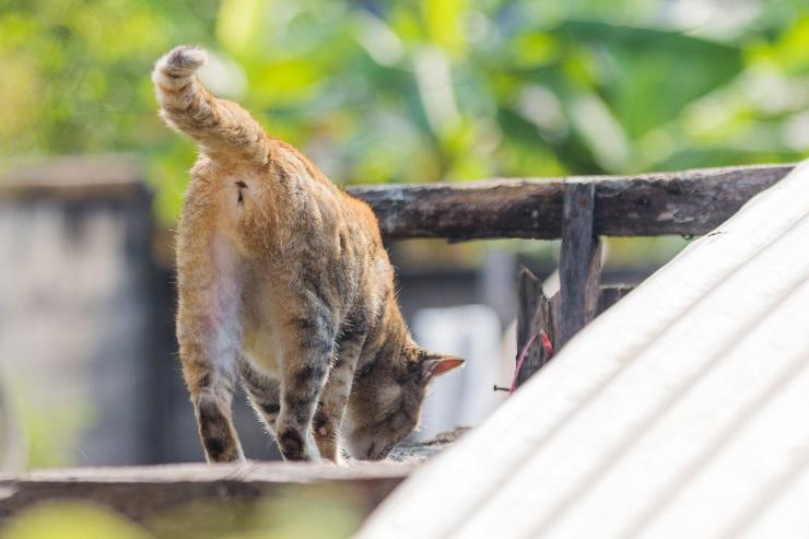 肛門が見える猫