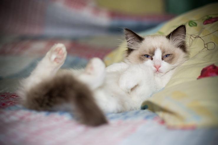 ベッドで居眠りする子猫のラグドール